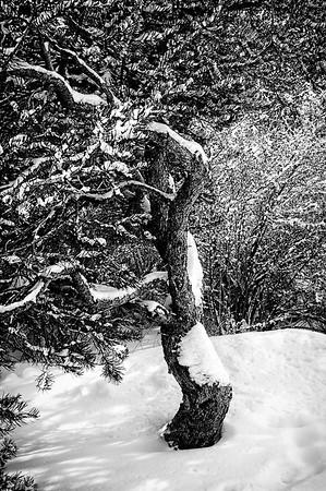 Piñon in Winter
