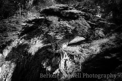 Cliffside Monterey Cypress
