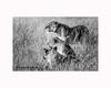 Lions in Ngorongoro