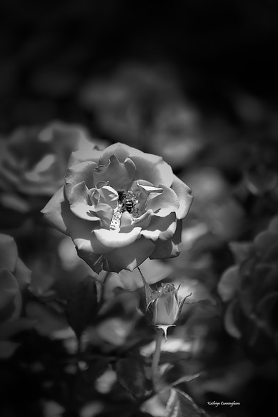 IMG_2810 Rose and Bee BW.jpg