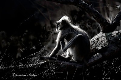 Langur in the sun