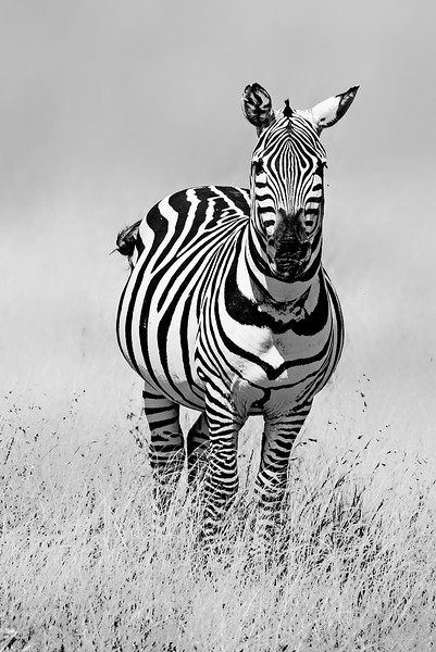 Zebra Stare