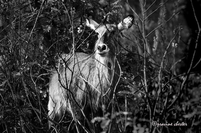 Water Buck in the wild