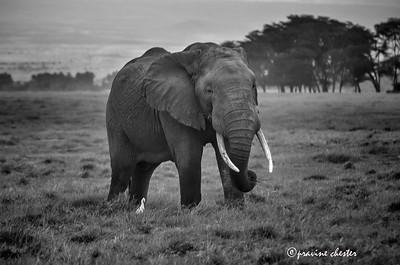 Tusker in Amboseli