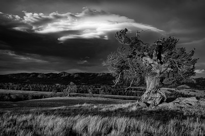 A weathered pine tree stands atop a hill overlooking the Blair Wallis and Turtle Rock regions of the Veduawoo area of Medicine Bow National Forest outside of Laramie, Wyoming.   Photo by Kyle Spradley | © Kyle Spradley Photography | www.kspradleyphoto.com