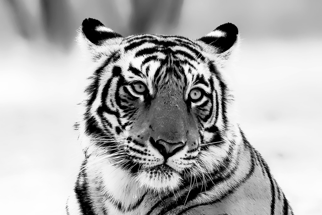 Look of a Tiger
