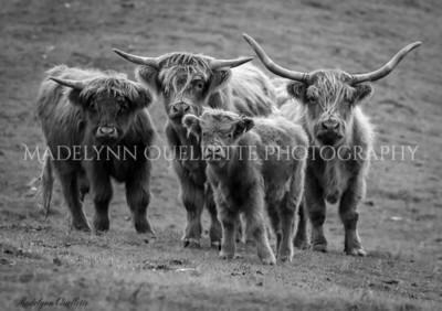 Highland Cows B&W