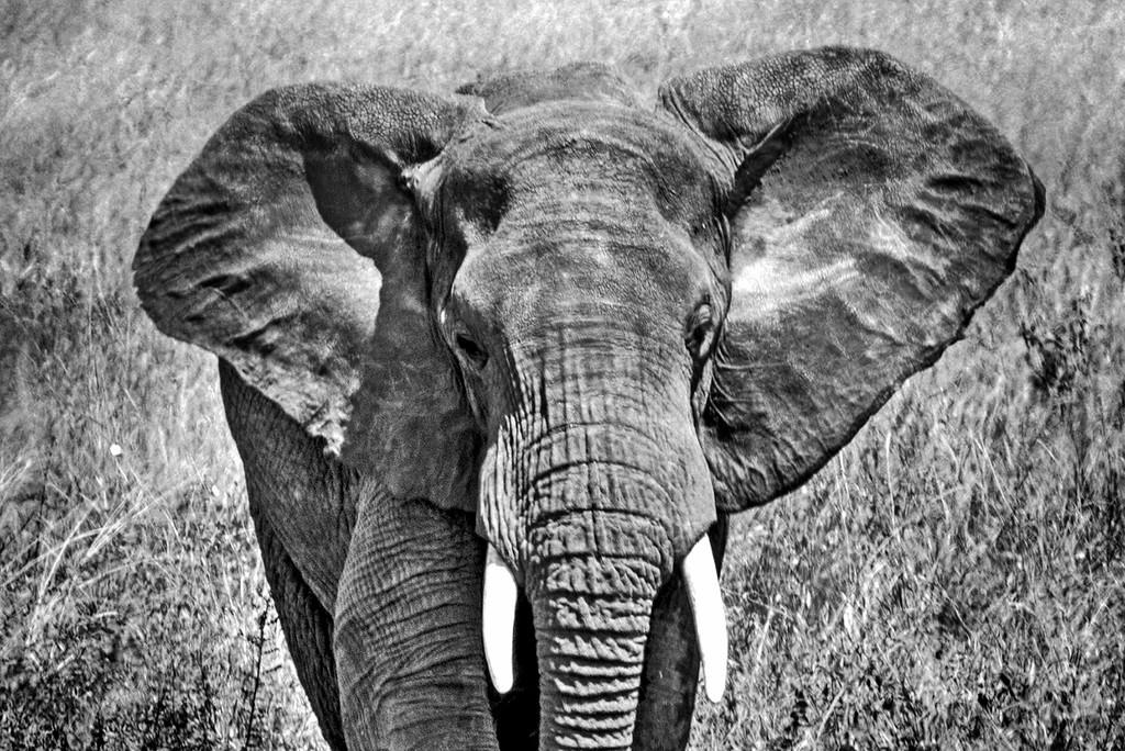 Portrait of an elephant