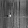 Canada Goose BW