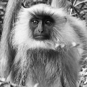 Portrait of a Langur