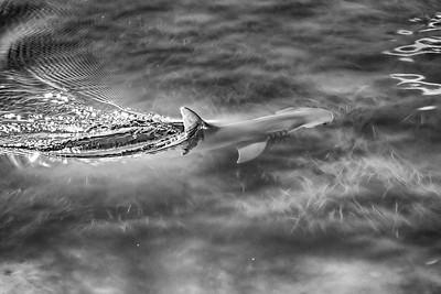 Bonnethead Shark in the Bay