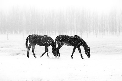 Horses in the snow, near Cromwell