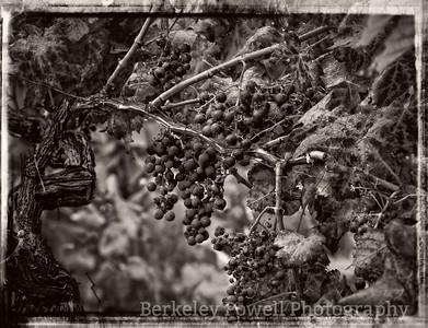 Chianti Grapes