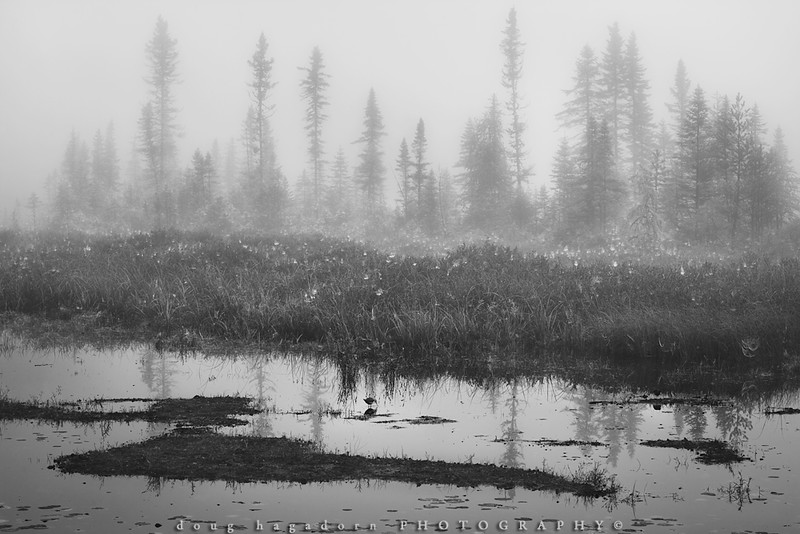 In A Foggy Algonquin (0456)