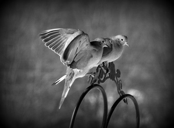 Love Doves
