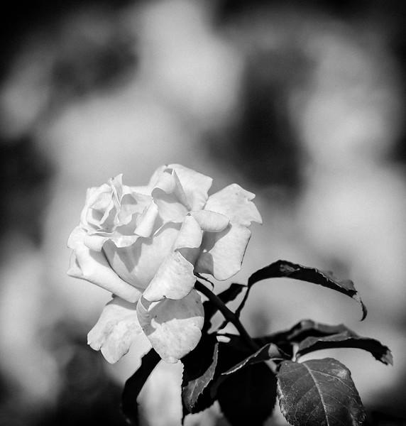 Balboa Park Rose Garden-0047.jpg