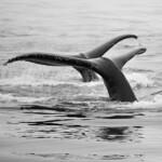 Pt. Adolphus whales 3