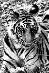 Sub-adult tiger Cub