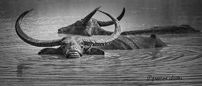 Wild Water Buffaloe