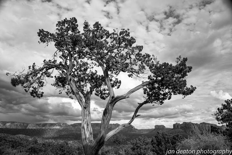 Sedona Tree/B&W