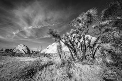 Mormon Rocks Trail - Yucca Trees II.