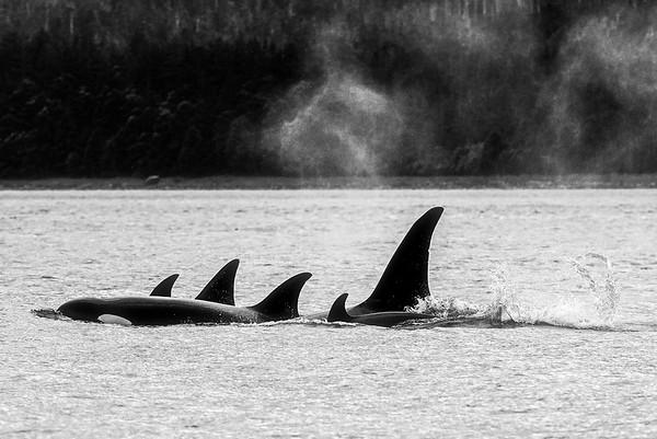 Transient Orca Pod Juneau