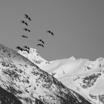 Canada Geese over Eagle River