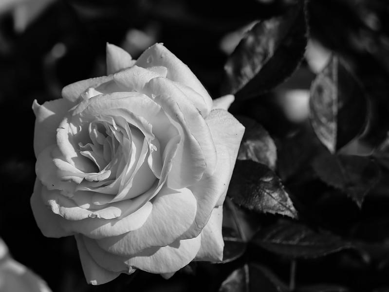 Balboa Park Rose Garden-0058.jpg