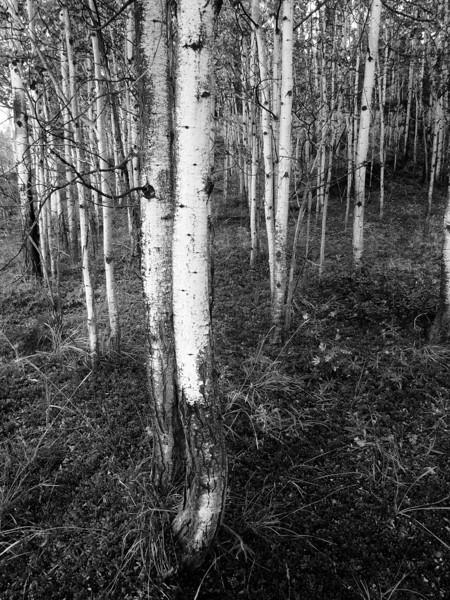aspen trees next to Deadman Lake, Alaska