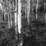 aspen trees next to Deadman Lake, Alaska