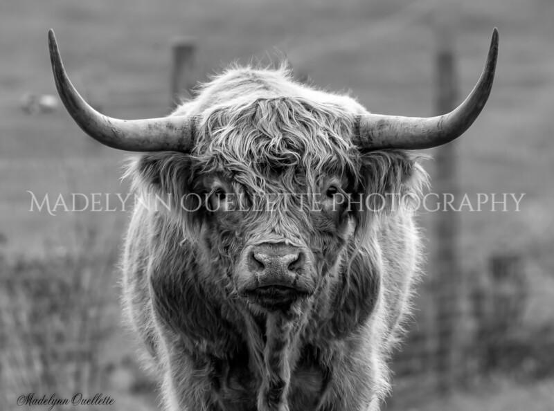 Highland Cow B&W