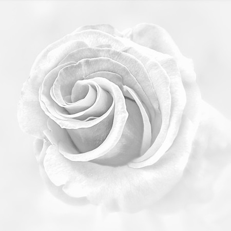 White on White Rose<br /> © Sharon Thomas