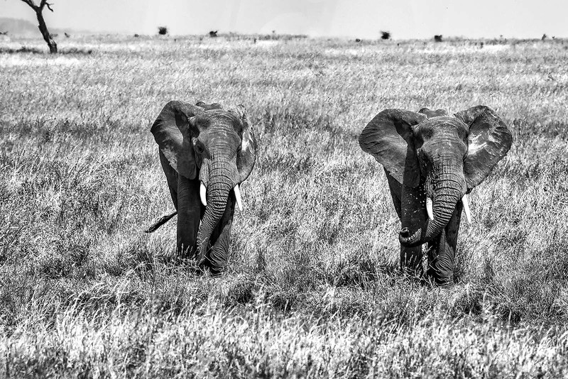 Elephants in the wild