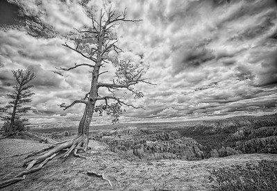 Bryce Tree