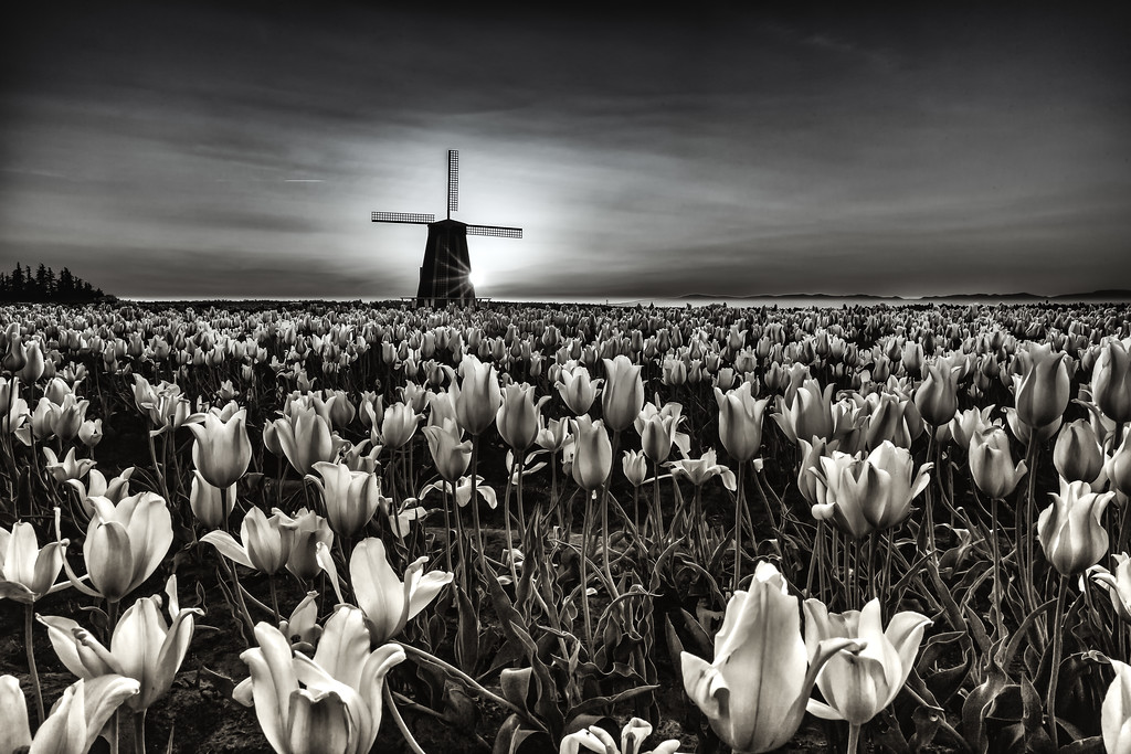 Lost in the tulips.