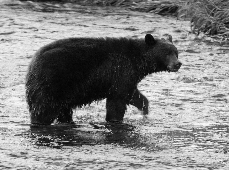 Mendenhall black bear