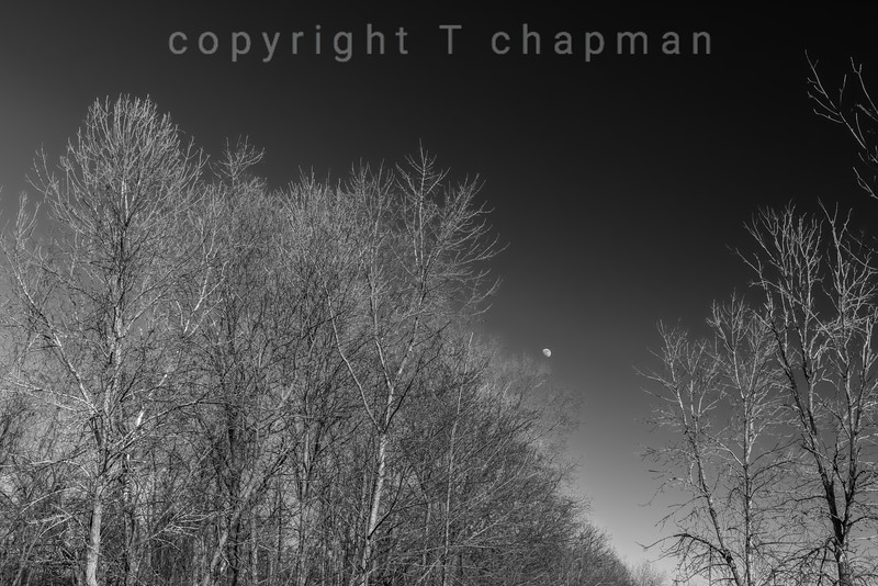 Treeline Moon
