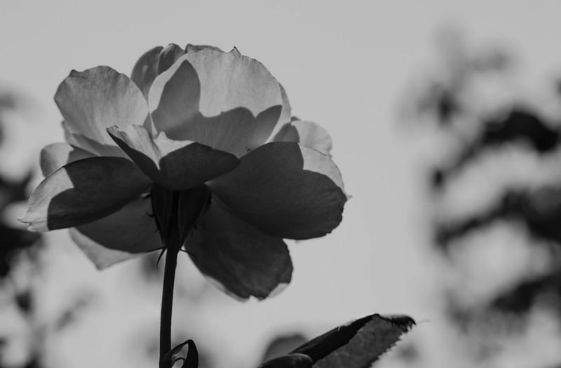 Balboa Park Rose Garden-0880.jpg