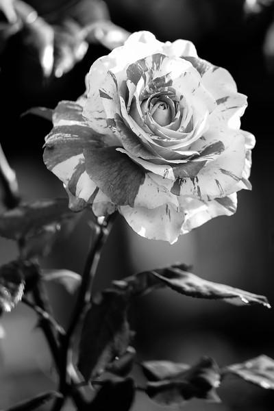 Balboa Park Rose Garden BW-0063.jpg