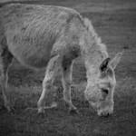 Noble donkey