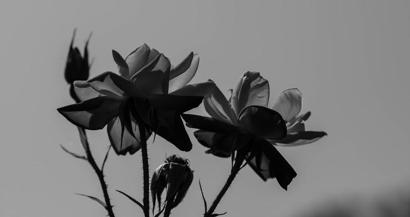 Balboa Park Rose Garden-0878.jpg