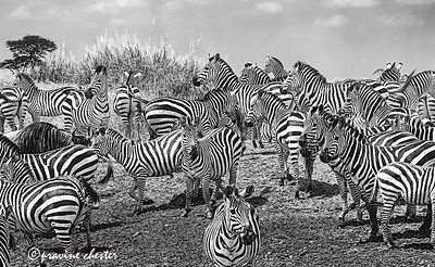 Dazzle of Zebras
