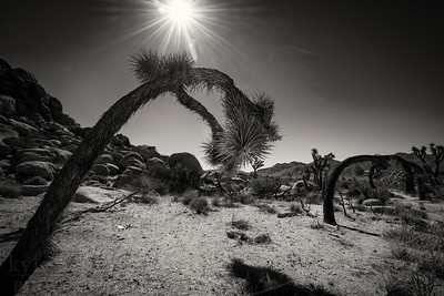 Summer in Joshua Tree National Park in the Colorado and Mojave deserts of southern California. The unique trees dot a desolate environment mixed with scrubby brush and scenic rock formations.  Photo by Kyle Spradley   © Kyle Spradley Photography   www.kspradleyphoto.com