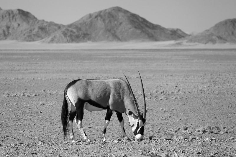 Gemsbok on the Plain