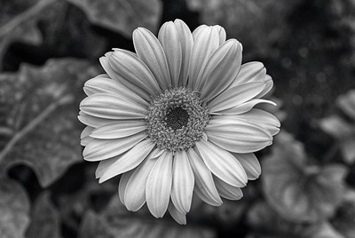 Gerbera in Bloom