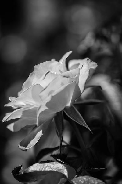 Balboa Park Rose Garden-0853-2.jpg