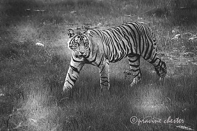Tiger cub in Ranthambore