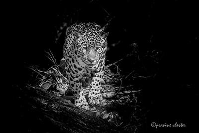 Jaguar stare