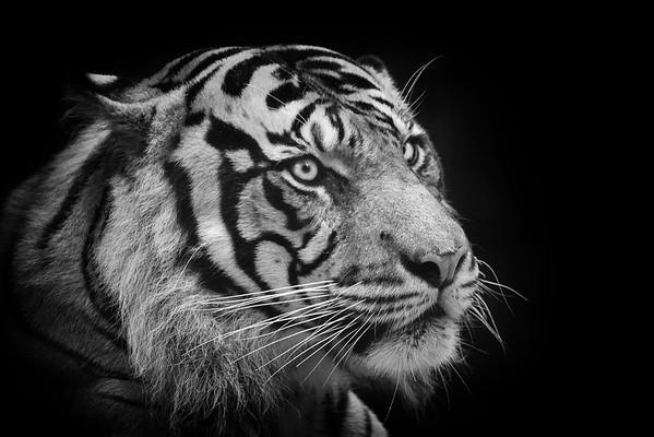 Hutan - Sumatran tiger