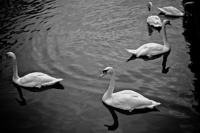 Bruges Canal Swans